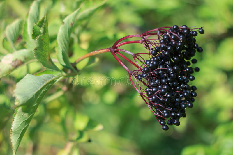 Download Elderberry стоковое изображение. изображение насчитывающей brampton - 40578343
