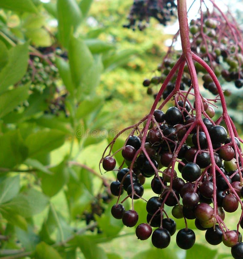 elderberry photo stock