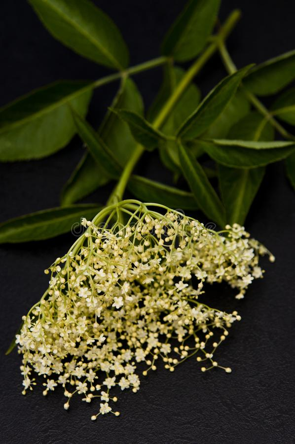 Elderberry bloom for homemade healthy syrup. Ingredients for a homemade healthy syrup: elderberry blossom. Series with sebczseries1074 keyword royalty free stock images