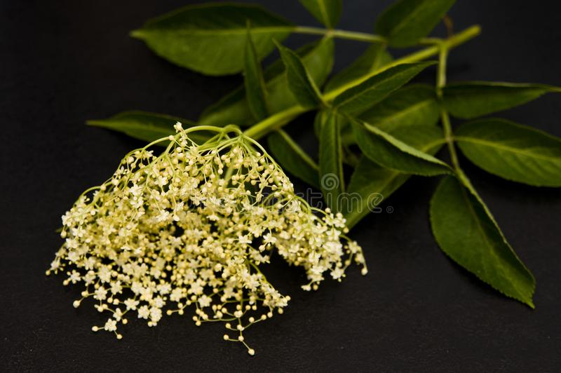 Elderberry bloom for homemade healthy syrup. Ingredients for a homemade healthy syrup: elderberry blossom. Series with sebczseries1074 keyword royalty free stock image