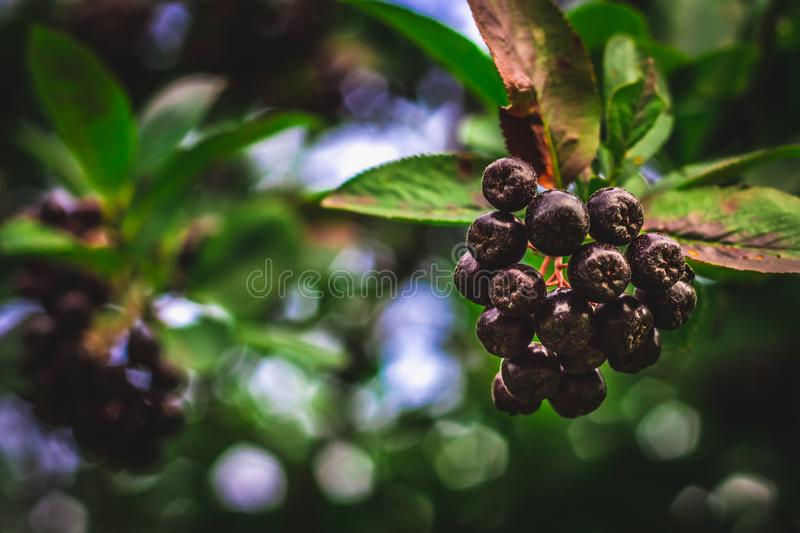 Elderberry. Closeup view of wet elderberry's bunch over green leaves. Autumn forest berry after rain, soft focus. royalty free stock image