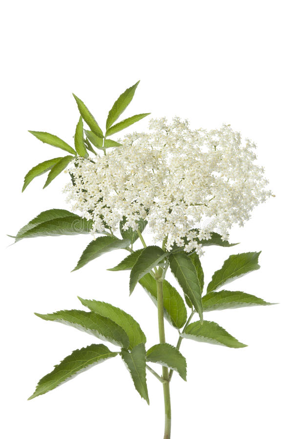 Free Elderberry Flower And Leaves Royalty Free Stock Image - 19819246