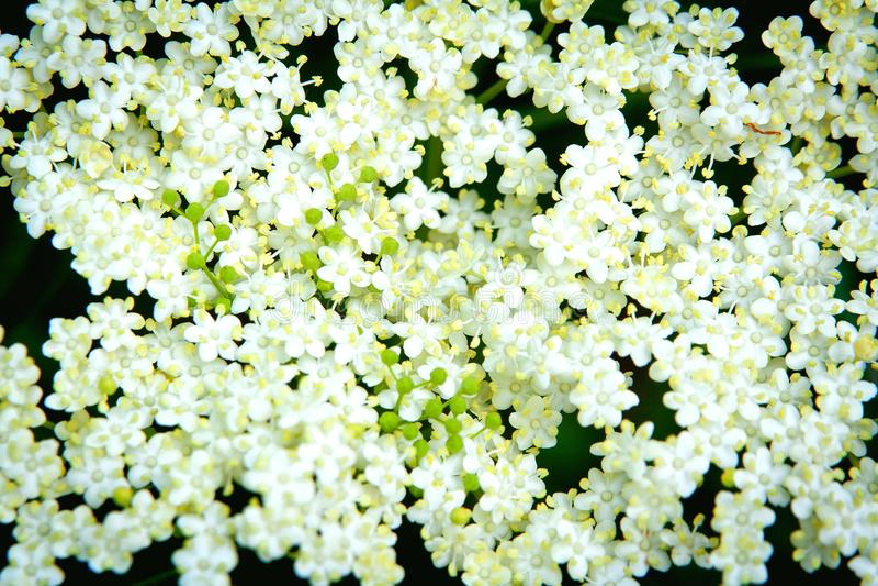 Elderberry flowers royalty free stock photos
