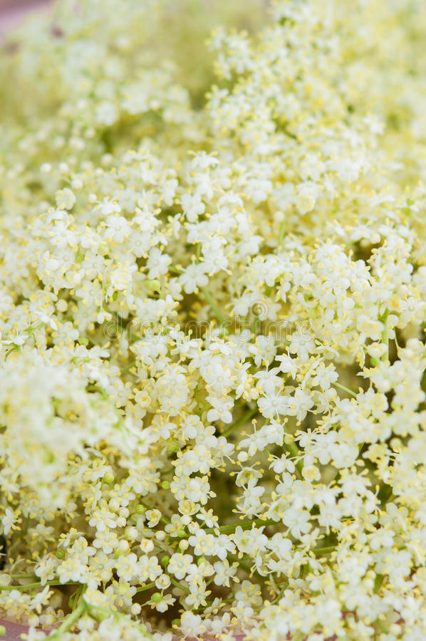 Free Elderberry Flowers Detail Stock Photos - 31993663