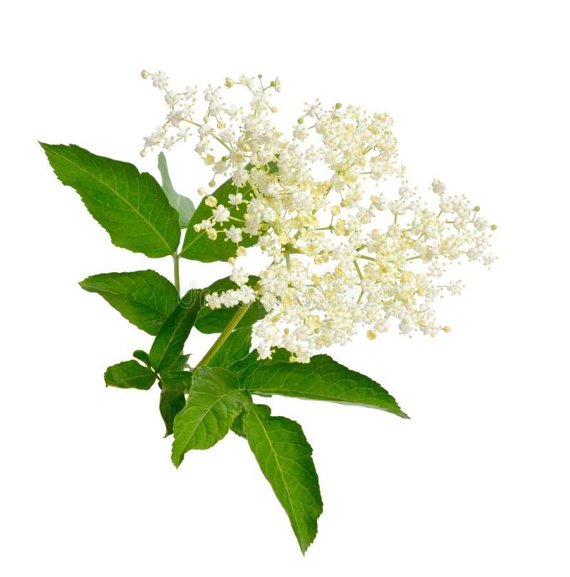 Elderberry liście i obrazy royalty free