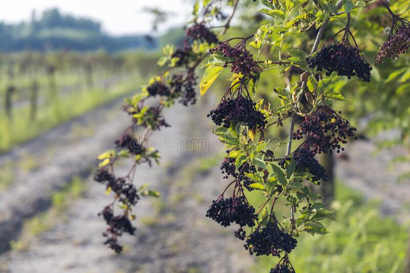 elderberry orchard in central Hungary royalty free stock photography