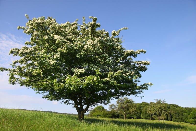 Elderberry tree in summer royalty free stock photo