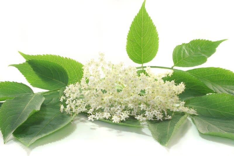 Elderflower royalty-vrije stock afbeeldingen