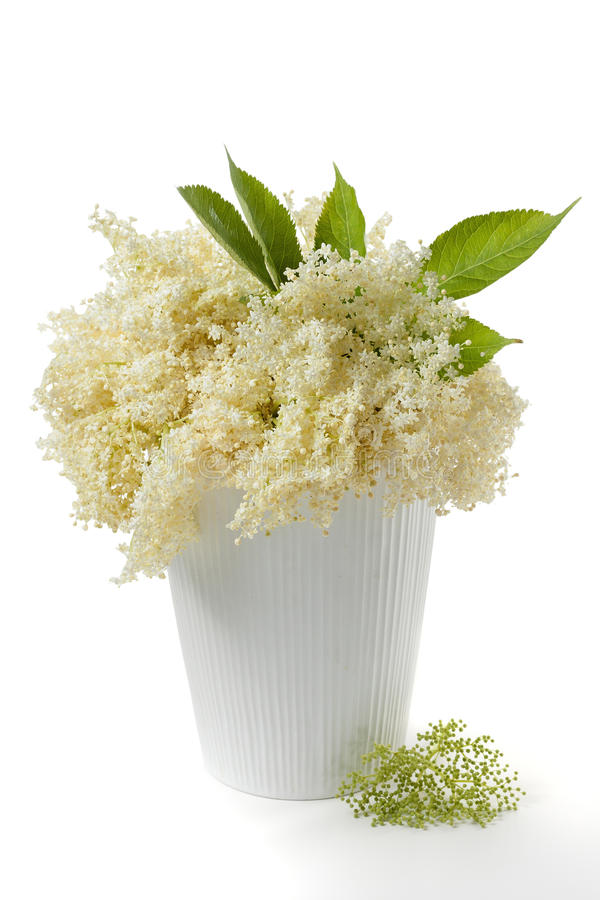 elderflower obraz stock