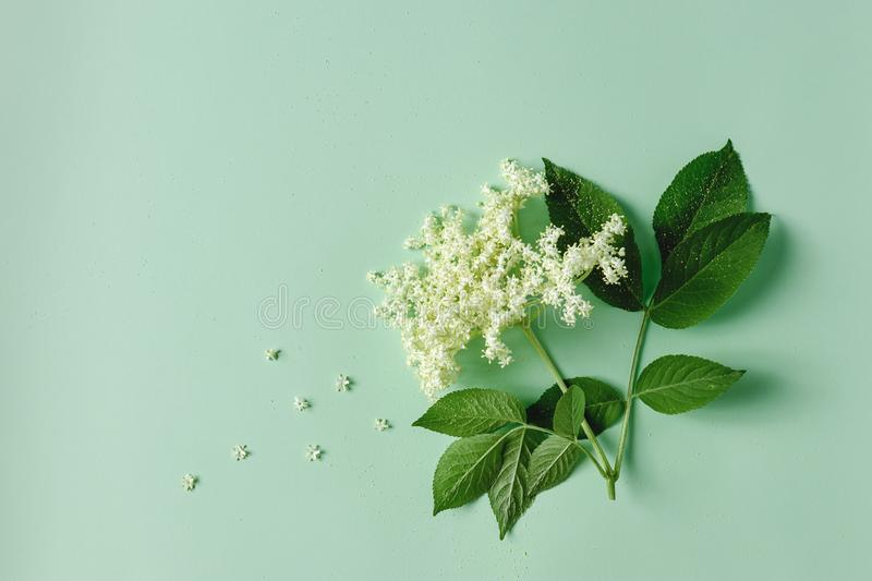 Elderflower blossom flower Sambucus nigra. Elderflower blossom flower with leaves on light green background stock image