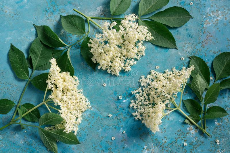 Elderflower blossom flower Sambucus nigra. Elderflower blossom flower with green leaves. The flowers are edible and can be used to add flavour and aroma to both stock photos