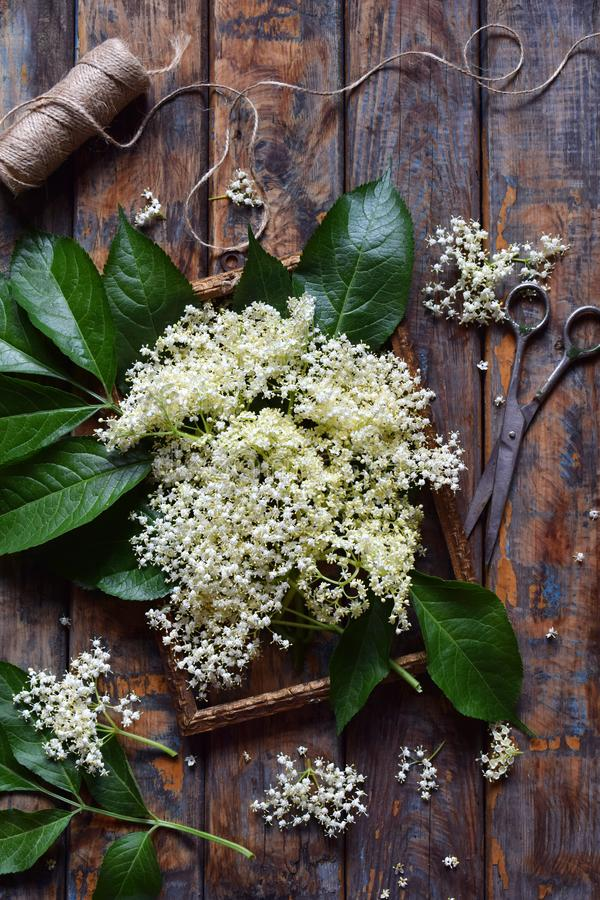 Elderflower blossom flower in wooden background. Edible elderberry flowers add flavour and aroma to drink and dessert. Sambucus ni royalty free stock images