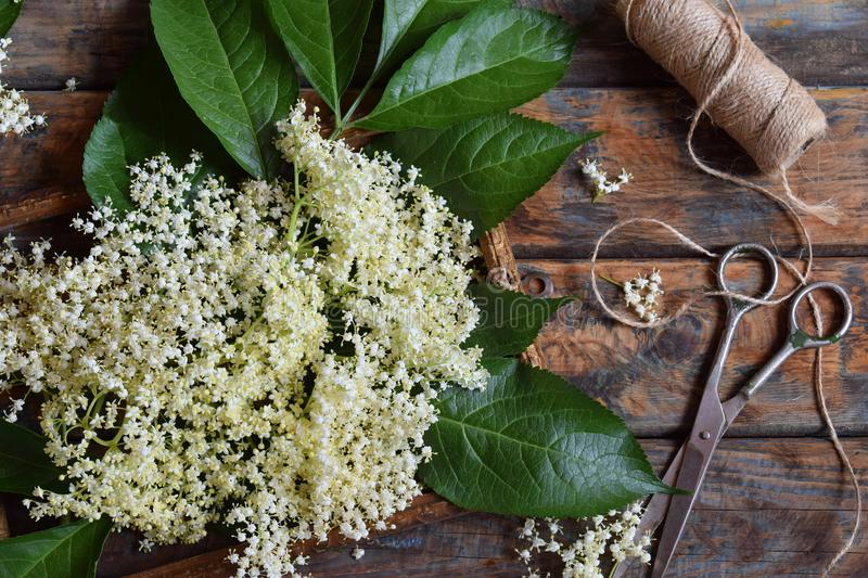 Elderflower blossom flower in wooden background. Edible elderberry flowers add flavour and aroma to drink and dessert. Sambucus ni. Elderflower blossom flower in stock photography