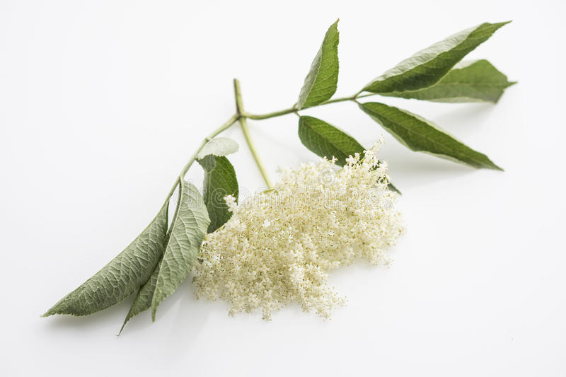 Elderflower. Blossom on white background stock images