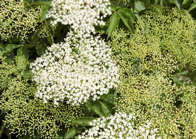 The elderflower. The detail of elderflower (Sambucus nigra stock images