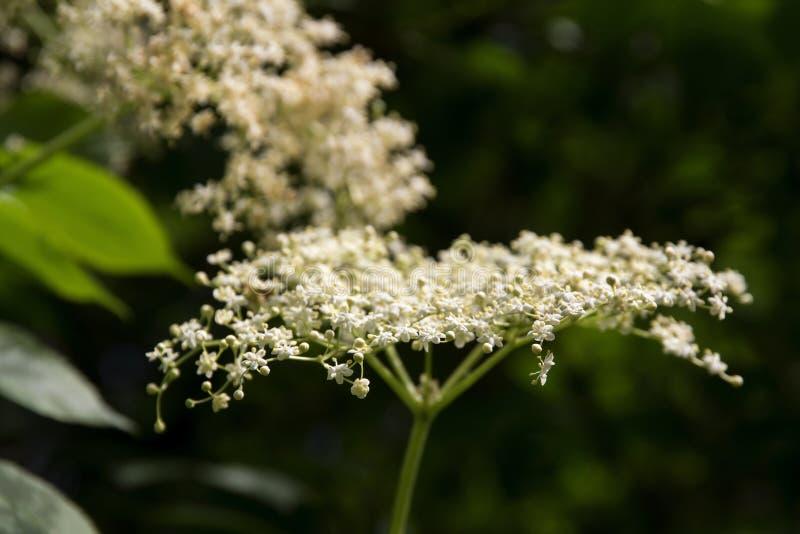 Elderflower floreciente (nigra del Sambucus) en el arbusto en el jardín, imágenes de archivo libres de regalías