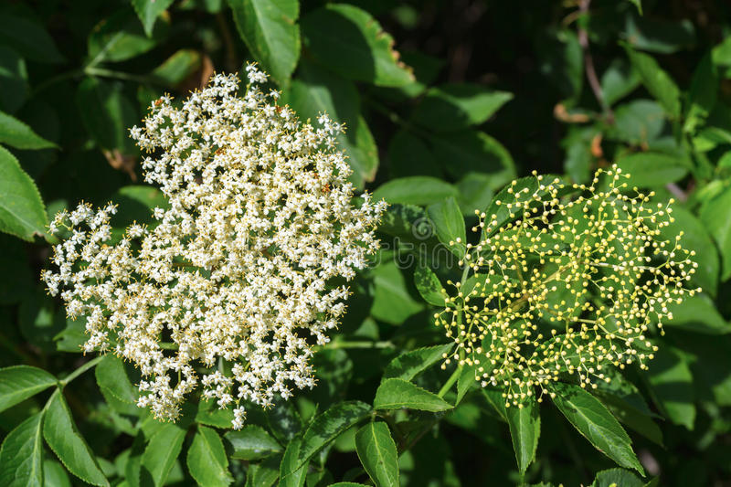 Elderflower. Fresh elderflower blossoms on a branch royalty free stock photos