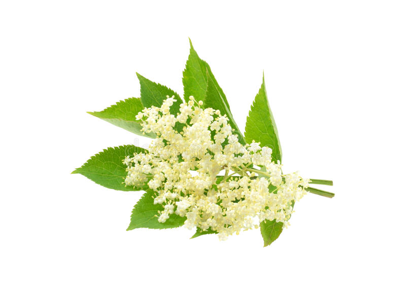 Elderflower isolated. Flowers and leaves of Elderflower, isolated on white background stock photos