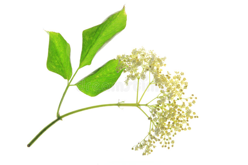Elderflower (nigra del Sambucus) fotos de archivo