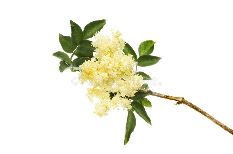 Elderflower. Sambucus, flowers and foliage isolated against white royalty free stock image