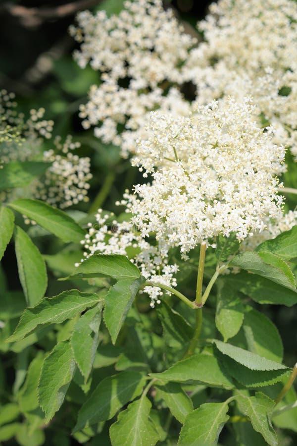Free Elderflower (sambucus Nigra) Clusters Stock Photo - 15066720