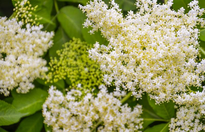 Elderflower Sambucus nigra. Gardening, spice. Blooming elderflower Sambucus nigra on spring royalty free stock photo
