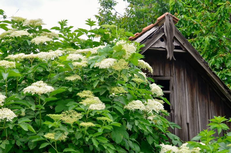 Elderflower Sambucus nigra Vecchia casa abbandonata Giardinaggio, spezie immagini stock