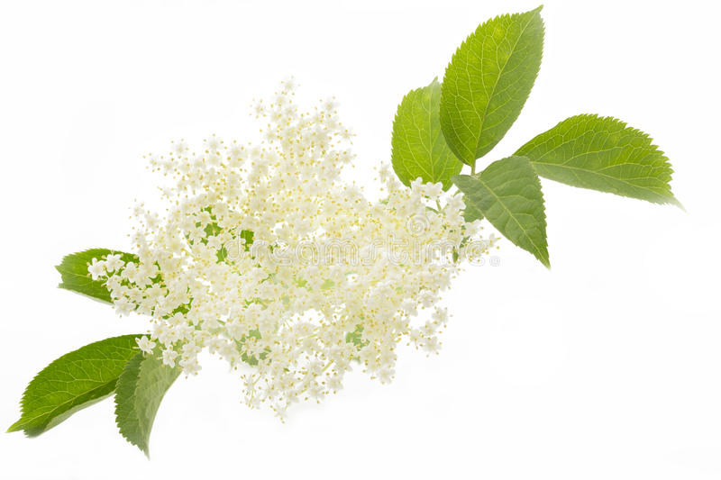 Elderflower on white background. Elderflower isolated on white background stock photos