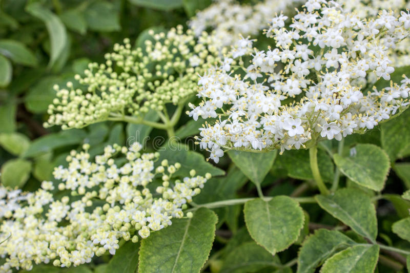 Elderflower. White Elderflower on a elderberry stock photography