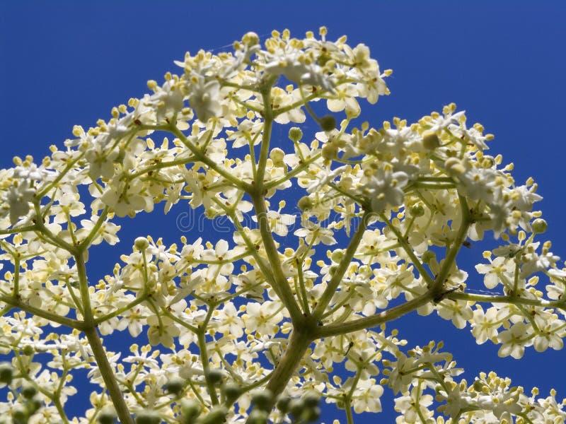 elderflowernigrasambucus arkivfoto
