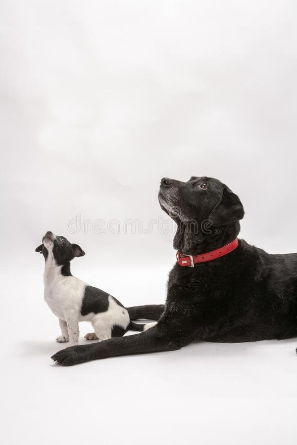 An elderly black labrador bitch and her new 3 month old Jack Chi cross puppy friend. Wait for a treat while they pose on a white seamless background in the stock photo
