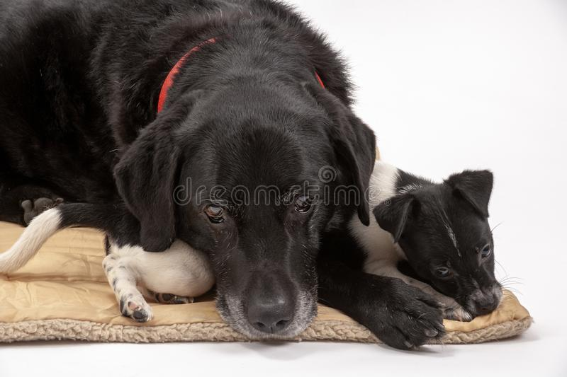 An elderly black labrador bitch and her new 3 month old Jack Chi cross puppy friend. Wait patiently for instruction while they pose on a white seamless royalty free stock image