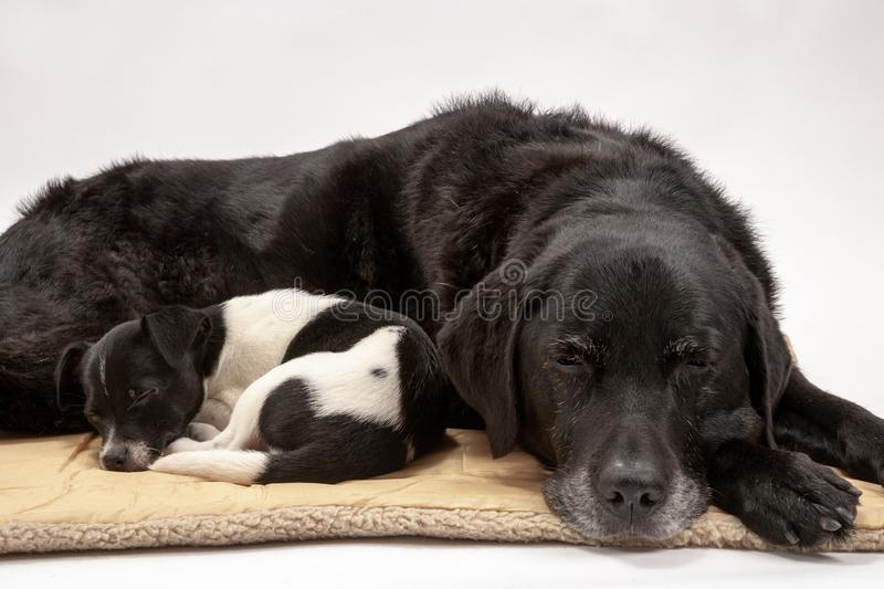 An elderly black labrador bitch and her new 3 month old Jack Chi cross puppy friend stock photography