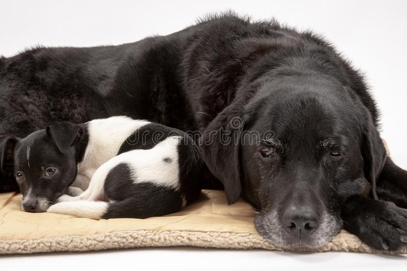 An elderly black labrador bitch and her new 3 month old Jack Chi cross puppy friend. Settle down for a rest after posing for photos on a white seamless royalty free stock photography