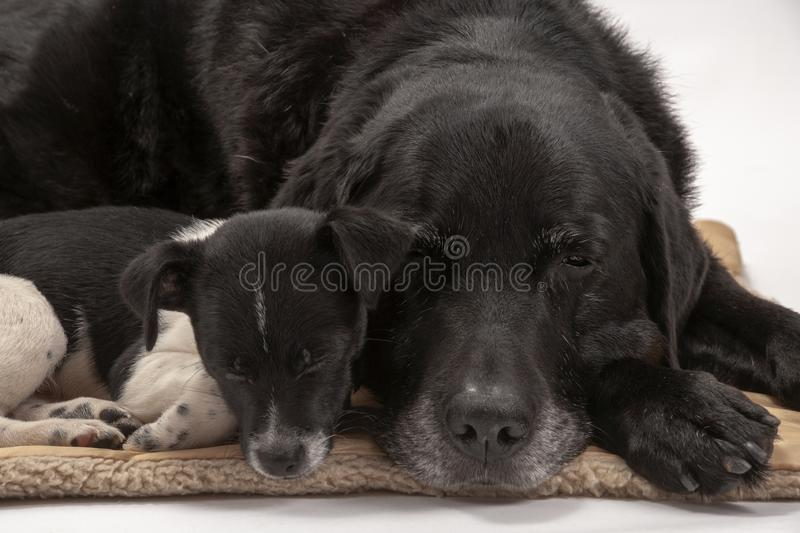 An elderly black labrador bitch and her new 3 month old Jack Chi cross puppy friend. Settle down for a rest after posing for photos on a white seamless stock photos