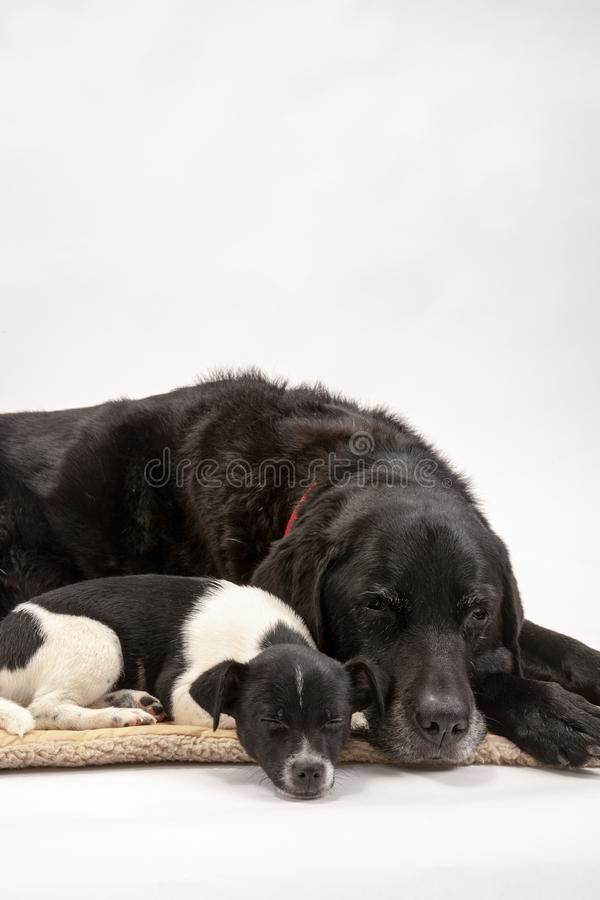 An elderly black labrador bitch and her new 3 month old Jack Chi cross puppy friend. Settle down for a rest after posing for photos on a white seamless royalty free stock images
