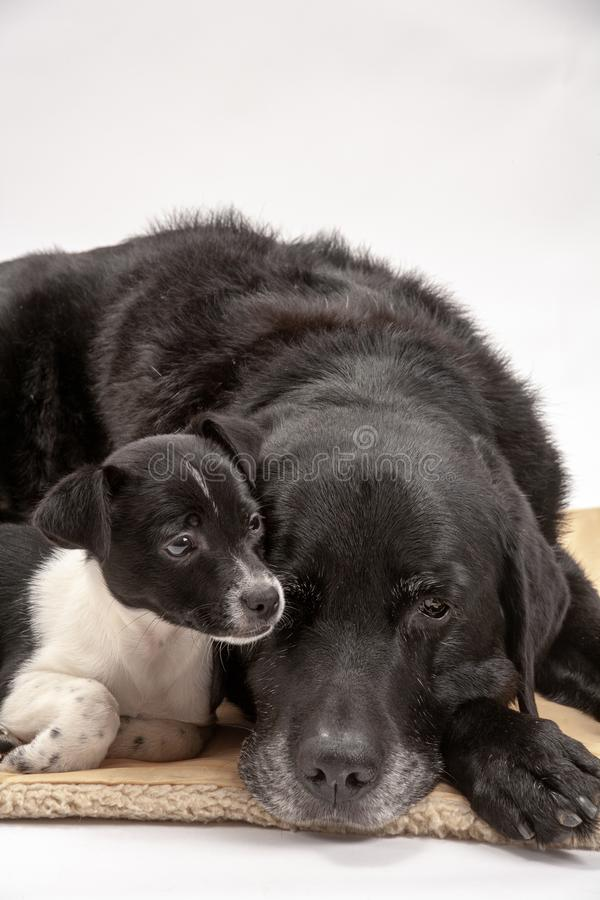 An elderly black labrador bitch and her new 3 month old Jack Chi cross puppy friend. Settle down for a rest after posing for photos on a white seamless stock images