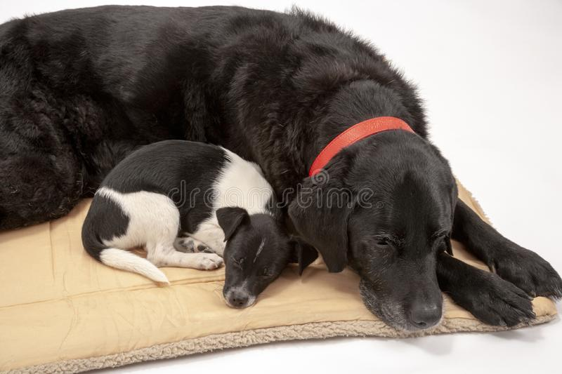 An elderly black labrador bitch and her new 3 month old Jack Chi cross puppy friend. Settle down for a rest after posing for photos on a white seamless royalty free stock image
