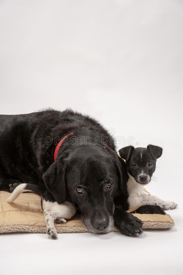 An elderly black labrador bitch and her new 3 month old Jack Chi cross puppy friend. Wait patiently for instruction while they pose on a white seamless royalty free stock photo
