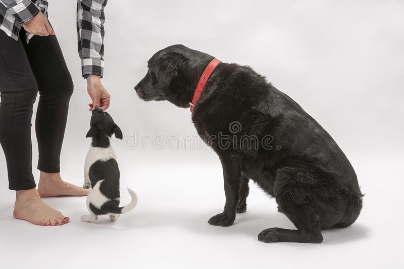 An elderly black labrador bitch and her new 3 month old Jack Chi cross puppy friend. Wait for a treat while they pose on a white seamless background in the royalty free stock image