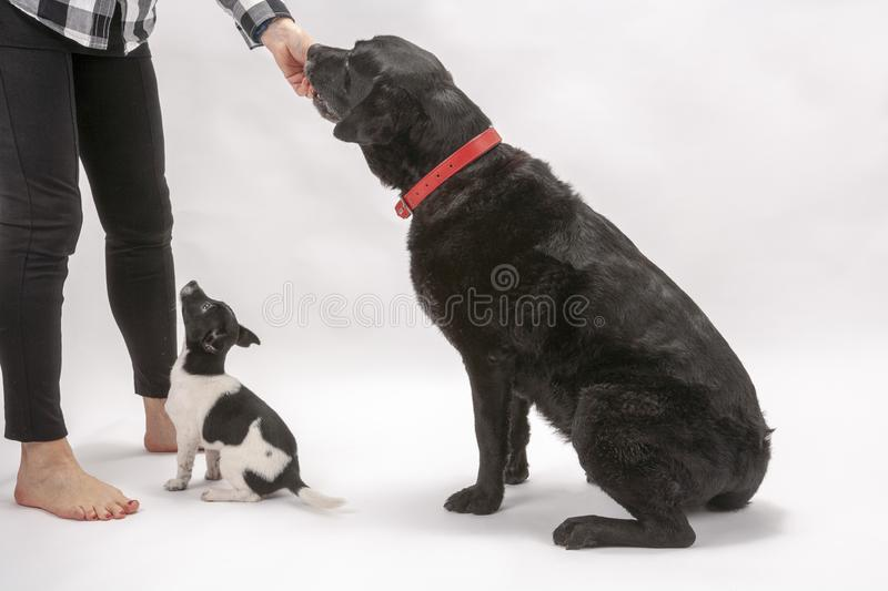 An elderly black labrador bitch and her new 3 month old Jack Chi cross puppy friend. Wait for a treat while they pose on a white seamless background in the stock photography