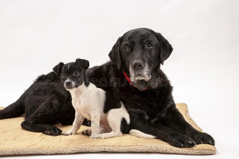An elderly black labrador bitch and her new 3 month old Jack Chi cross puppy friend. Watch alertly for instruction while they pose on a white seamless stock images