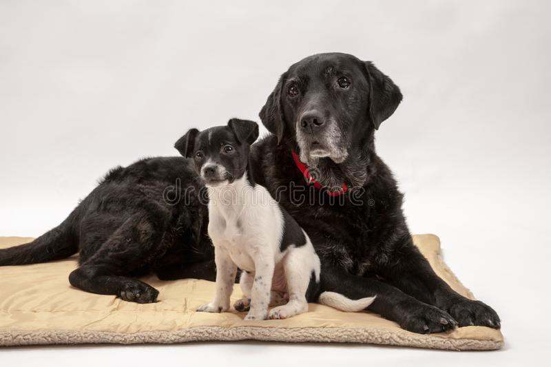 An elderly black labrador bitch and her new 3 month old Jack Chi cross puppy friend. Watch alertly for instruction while they pose on a white seamless stock image