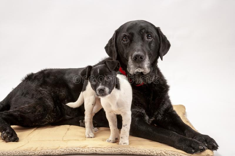 An elderly black labrador bitch and her new 3 month old Jack Chi cross puppy friend. Watch alertly for instruction while they pose on a white seamless stock photos