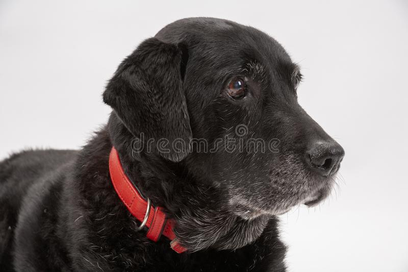 An elderly black labrador poses on a white seamless backdrop. An elderly black labrador bitch waits patiently for instruction while she poses on a white seamless royalty free stock photos