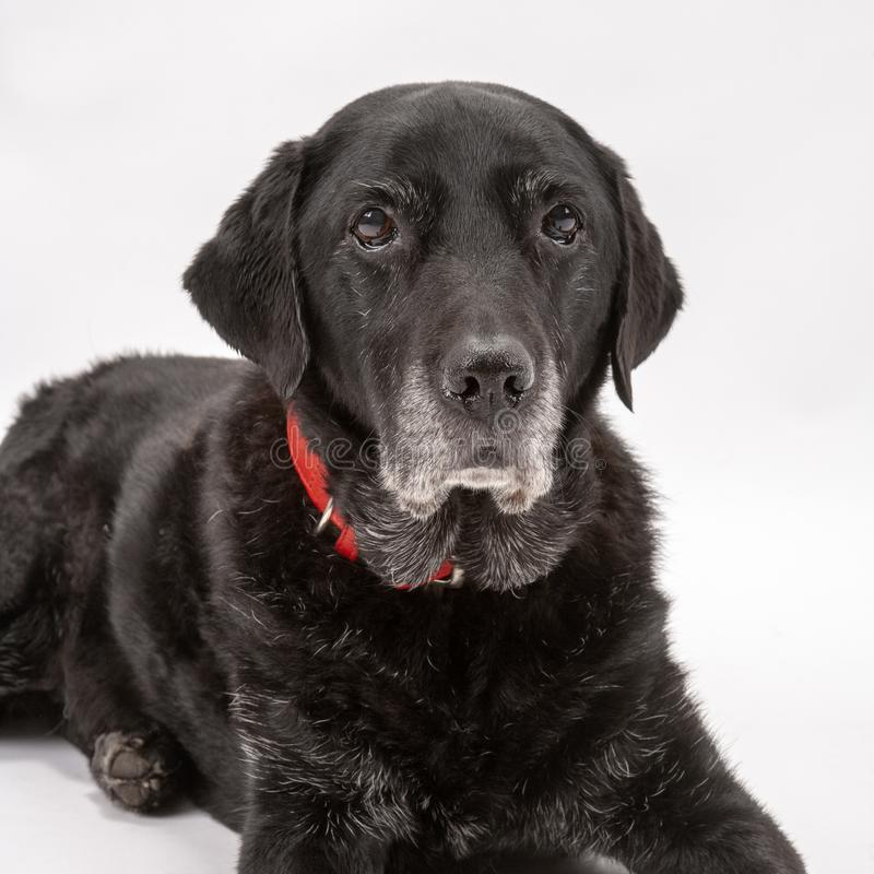 An elderly black labrador poses on a white seamless backdrop. An elderly black labrador bitch waits patiently for instruction while she poses on a white seamless royalty free stock images