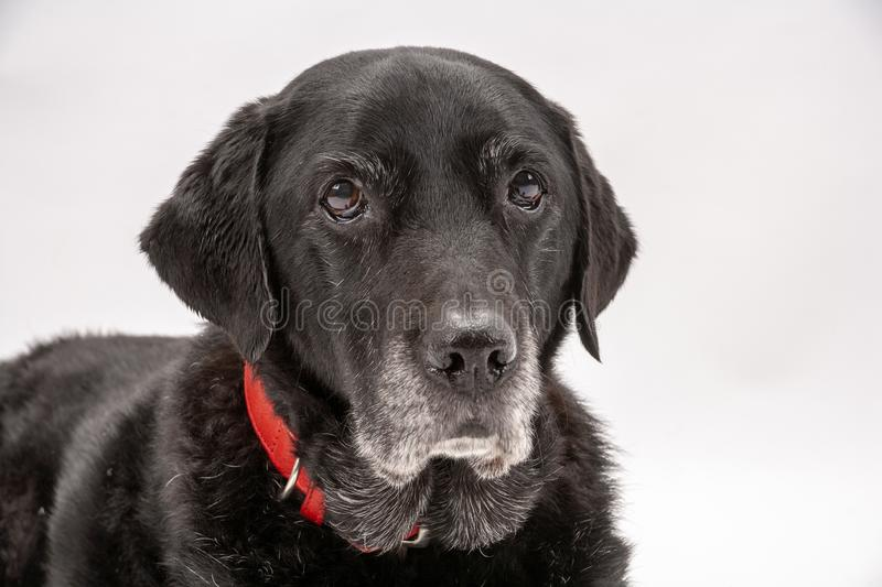 An elderly black labrador poses on a white seamless backdrop. An elderly black labrador bitch waits patiently for instruction while she poses on a white seamless stock photography