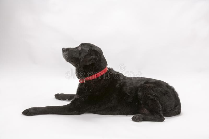 An elderly black labrador poses on a white seamless backdrop. An elderly black labrador bitch waits for a treat while she poses on a white seamless background in royalty free stock photos