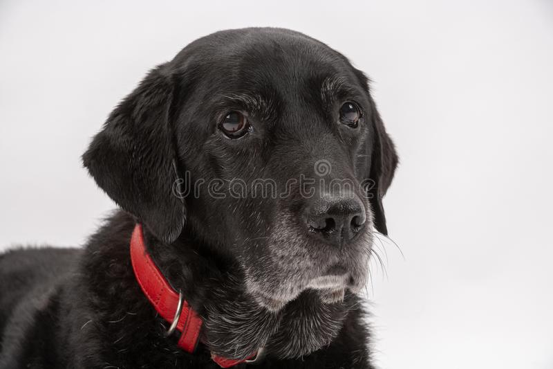An elderly black labrador poses on a white seamless backdrop. An elderly black labrador bitch waits patiently for instruction while she poses on a white seamless stock image