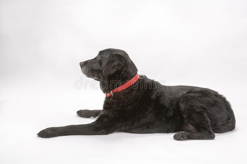 An elderly black labrador poses on a white seamless backdrop. An elderly black labrador bitch waits for a treat while she poses on a white seamless background in stock photography
